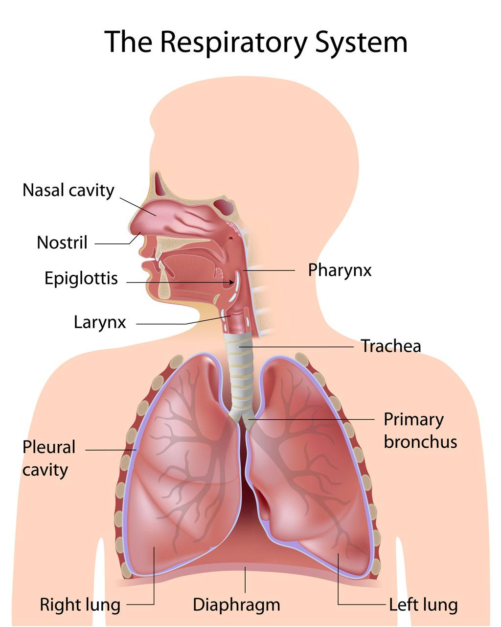 Child Respiratory System Pediatric Pulmonologists