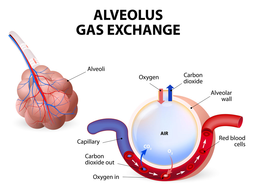 diagram of diffusion the lungs diagram of the lungs and heart alveolus.-gas-exchange.-pulmonary-alveolus - pediatric ... #13